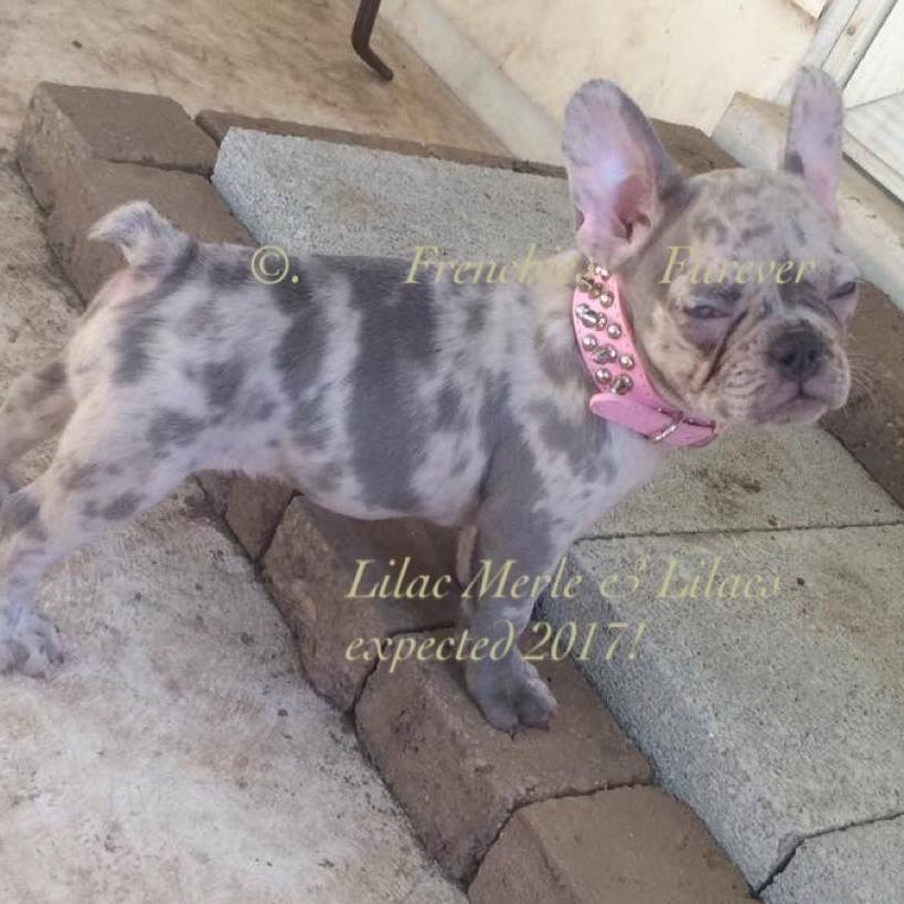 Photo Gallery - French Bulldogs