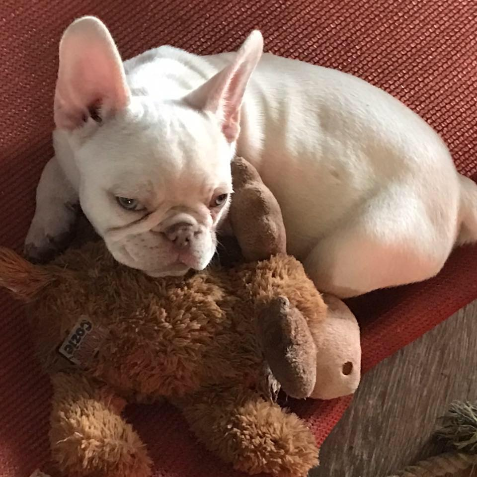 About Us French Bulldogs