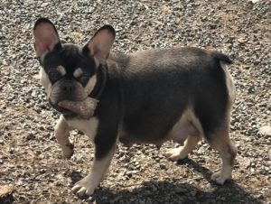 Available Puppies - French Bulldogs
